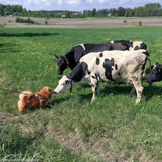 Chow chow and cow