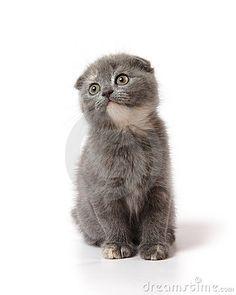 Little scottish-fold kitten of blue-cream color. - #scottishfold - See more stunning picture of Scottish Fold Cat Breeds at Catsincare.com!