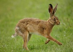 Brown Hare stepping out in May. Suffolk. Lepus europaeus. www.mikerae.com | by mikejrae