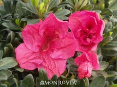 """""""Nuccio's Wild Cherry"""" Azalea/Monrovia.  A fast growing upright shrub, this plant has large blooms w/ round petals of cherry-red.  Evergreen"""