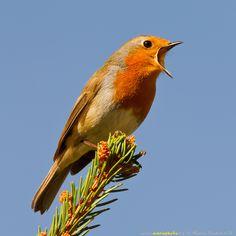 Se ha descubierto que las neuronas implicadas en el canto de los pájaros son las mismas que se activan de manera espontánea cuando oyen cantar a otros.