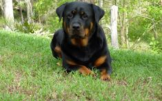 Rottweiler Dog - Site for fans of this Dog Breed.