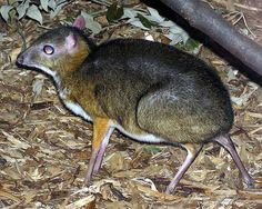 The Kanchil is the world's smallest hoofed animal. It is native to southern Asia.