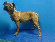 Executed on 4/19/13. Brooklyn Center - P. ROXY's animal ID # was A0962146. She was a three-year-old brown brindle and white pit bull mix.