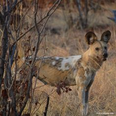 Protect+Zimbabwe's+African+Wild+Dogs+at+The+Animal+Rescue+Site