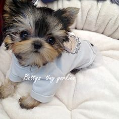 "Get fantastic recommendations on ""Yorkshire terriers"". They are actually offered for you on our internet site. Cute Dogs And Puppies, Baby Puppies, Adorable Puppies, Baby Dogs, Doggies, Teacup Yorkie, Teacup Puppies, Cute Baby Animals, Animals And Pets"