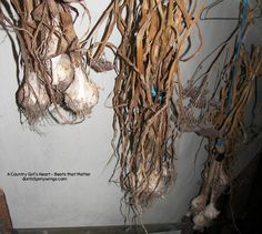 Home grown garlic hanging in the basement stairway gives me a warm, satisfied feeling of accomplishment. For me the process lacked the perfection I would have liked.I did not keep the area weeded…