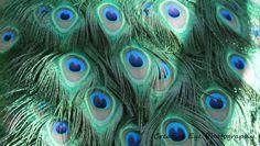 Peacock feathers. Peacock Feathers, Fine Art, Visual Arts