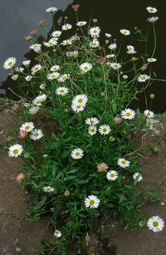 Fleabane (Mexican);  Spring 2014, not sure if this is the type I bought