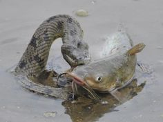 Diamondback water snake capturing a catfish in Fort Bend County, Texas. Anaconda Snake, Green Anaconda, Snake Facts, Newborn Elephant, Largest Snake, Komodo Dragon, Reptiles And Amphibians, Catfish, Animals