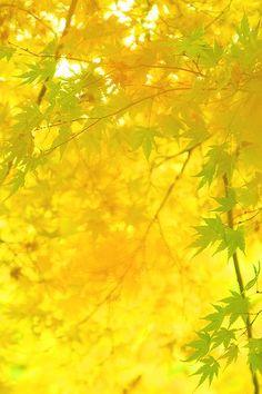 yellow.quenalbertini: Yellow tree