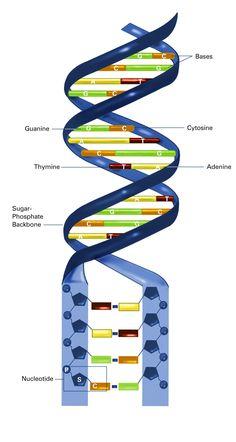 Artist Depiction of a DNA Strand