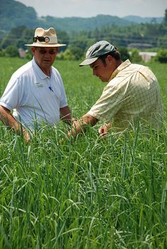 Ken Goddard & Jon Walton, University of Tennessee Biofuels Specialists, inspect switchgrass.