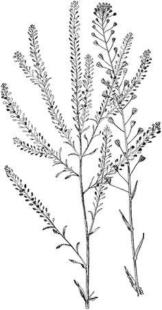 Pepper Grass and Shepherd's Purse