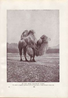 One Cool Camel! Vintage Animal Print 1917 Art Illustration Wall Decor by AgedPage