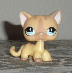 lps cat   LPs Shorthair Cats