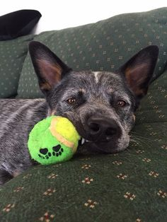 Cattle dog with ball Aussie Cattle Dog, Austrailian Cattle Dog, My Boy Blue, Dog Nose, Herding Dogs, Dogs And Puppies, Doggies, Dog Rules, Beautiful Dogs