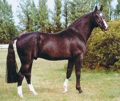 Brown - Pictured is Alcatraz; Holsteiner stallion in Sweden