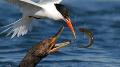 Wild and Beautiful Sea Bird Feeding Frenzies (PHOTOS) - weather.com