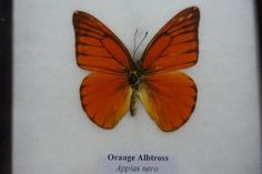 VERY RARE THE  ORAAGE ALBTROSS  BUTTERFLY DISPLAY INSECT TAXIDERMY IN FRAMED | Collectibles, Animals, Insects & Butterflies | eBay!
