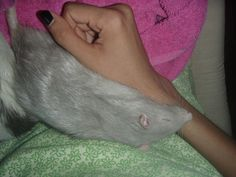 How to Bathe a Rat