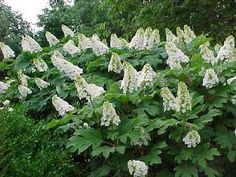 Oakleaf – H. arborescens. Oakleaf hydrangea had oak shaped leaves that turn lovely purple and red in the fall, and conical shaped white flowers that bloom in summer. More tolerant to hot summers, tolerant to shade, and tolerant to drier soil.