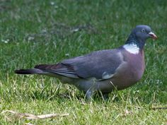 Common Wood Pigeon aka  Wood Pigeon (Columba palumbus) by Algirdas