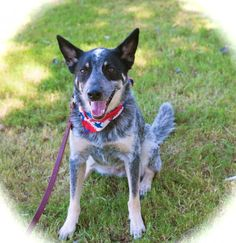 Meet Cute Joey, an adopted Australian Cattle Dog / Blue Heeler Dog, from Pacific Coast Dog Rescue in Burbank, CA on Petfinder. Learn more about Cute Joey today. Pet Dogs, Dog Cat, Pets, Rescue Puppies, Woodland Hills, Los Angeles Area, Australian Cattle Dog, Pacific Coast, Adoption