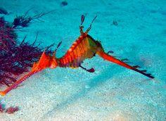 7711a6d3a Sea Dragon «