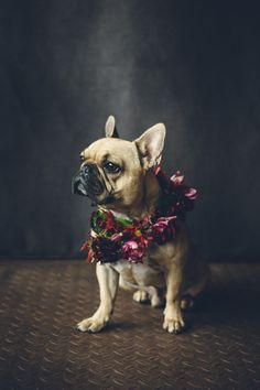 10 Adorable Hounds in Crowns - inspiration for including pets in weddings #frenchbulldog #weddingdog