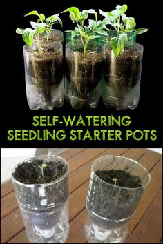 DIY Self-Watering Seed Starter Pots With this DIY seedling starter pots, you're sure that your plants are watered with the right amount at the right time! Starting A Garden, Seed Starting, Bottle Garden, Water Garden, Gardening For Dummies, Growing Tomatoes In Containers, Starting Seeds Indoors, Olive Garden, Self Watering Planter