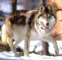See a wild Mexican Grey Wolf (canis lupus baileyi) in its natural habitat.