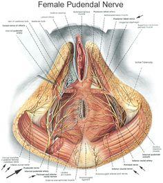 Pudendal Nerve Entrapment    Google Image Result for http://pfilates.com/blog/wp-content/uploads/2010/08/pudendal-nerve-pic.jpg