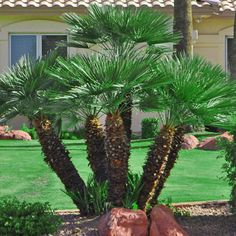 Tropical plants on pinterest palms date palms and palm for The home mag houston