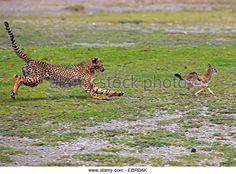 guepardo (Acinonyx jubatus), joven caza de animales una gacela joven, Tanzania, Serengeti National Park - Imagen de archivo