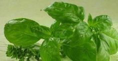 "The name of this powerful natural antibiotic is basil – the King of Herbs. Basil is one of the ancient and popular herbal plants brimming with notable health-benefiting phytonutrients. This super healthy plant is revered as ""holy herb"" in many cultures al Natural Herbs, Natural Health, Natural Juice, Health Benefits, Health Tips, Herbal Plants, Medicinal Herbs, Healthy Herbs, Healthy Food"