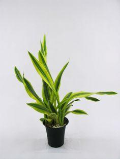 サンスベリア マニアック・コレクション ⑧   プロトリーフの観葉植物ブログ  サンスベリア・グイネンシス ヴァリエガータ