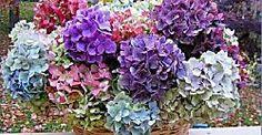 Cómo cultivar hortensias a partir de esquejes | Plantas