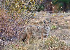 A coyote in Rocky Mountain National Park, Colorado.