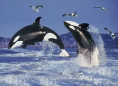 A couple of Orcas in the wild.                                                                                                                                                                                 More
