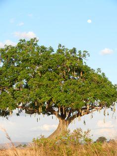 Mikumi Nat'l Park, Tanzania. 27 Oct 2012.