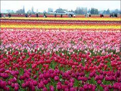 Tulips in Holland via lemmemakeit.blogspot.com