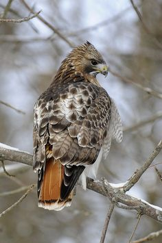 Red-tailed hawk, different morph from back home