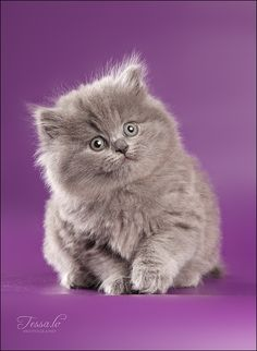 British Longhair Kitten-want; I will be a crazy cat lady with a boyfriend lmao