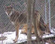 Red wolves at Wolf Conservation Center, a Red Wolf Species Survival Plan participant.  Photo credit theirs.
