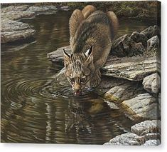 Bobcat Drinking From Stream Canvas Print by Alan M Hunt Caracal, Serval, Rusty Spotted Cat, Black Footed Cat, Iberian Lynx, Pallas's Cat, Sand Cat, Clouded Leopard, Mountain Lion