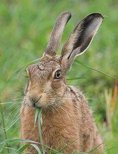 brown_hare.jpg
