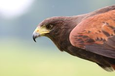 ⭐ Check out this free photoBrown Hawk on Focus Photo    🏁 https://avopix.com/photo/41189-brown-hawk-on-focus-photo    #bird #kite #hawk #animal #wildlife #avopix #free #photos #public #domain