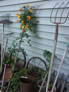 Old rustic yard tools attract vines