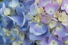 By Heather Rhoades For gardeners growing an acid loving plant, like blue hydrangea or azalea, learning how to make soil acidic is important to its overall health. If you do not already live in an area where the soil is acidic, making soil acidic will involve adding products that lower the soil pH. Soil pH…